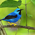 Tony Beck - Shining Honeycreeper