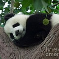 Cindy Calderon - Sleeping Panda