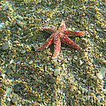 Starfish In Shallow Water by Ted Kinsman