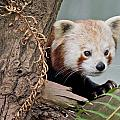 Greg Nyquist - Stealthy Red Panda