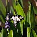 Travis Truelove - Swallowtail Butterfly -...