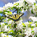 The Best Of Spring With Tiger Butterfly