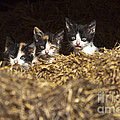 Scotts Scapes - Three Kittens