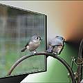 EricaMaxine  Price - TUFTED TITMICE-1st Place...