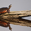 DK Hawk - Turtle Reflected