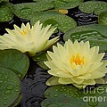 Chad and Stacey Hall - Two Water Lilies In The...