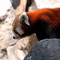 LeeAnn McLaneGoetz McLaneGoetzStudioLLCcom - Valley of the Red Panda