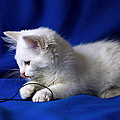 Raffaella Lunelli - White kitty on blue