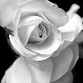 Jennie Marie Schell - White Rose Petals Black...