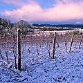 Jean Noren - Winter vineyard