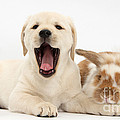 Yellow Lab Puppy With Rabbit by Mark Taylor