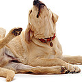 Yellow Labrador Scratching by Jane Burton