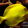 Pravine Chester - Yellow Tang