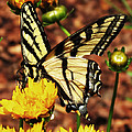 Debbie Edwards - Yellow Tiger Swallowtail...