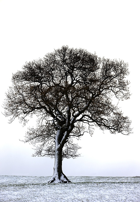Photography Photograph - Lone Tree In Field by John Short