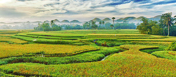 Paddy Rice Panorama Print by MotHaiBaPhoto Prints