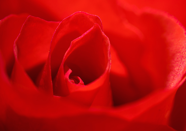 Rose Photograph - Red Rose by Svetlana Sewell