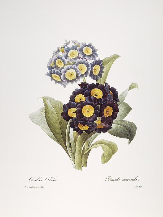 1833 Photograph - Redoute: Auricula, 1833 by Granger