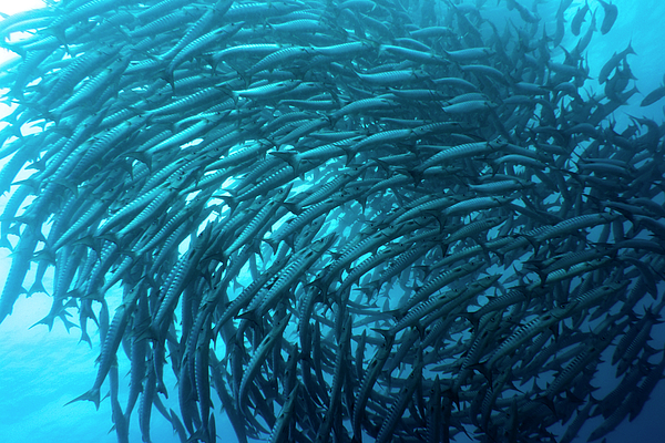 Fish Photograph - School Of Barracudas Underwater by MotHaiBaPhoto Prints