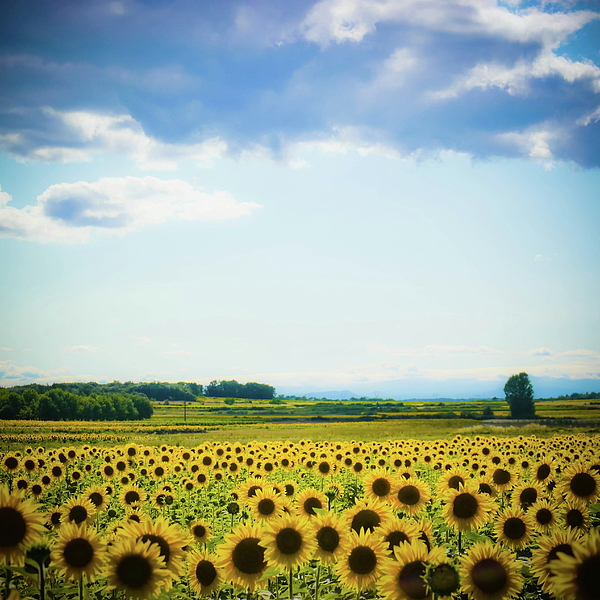 Sunflowers Photograph