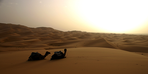 Two Camels At Sunset In The Desert Photograph