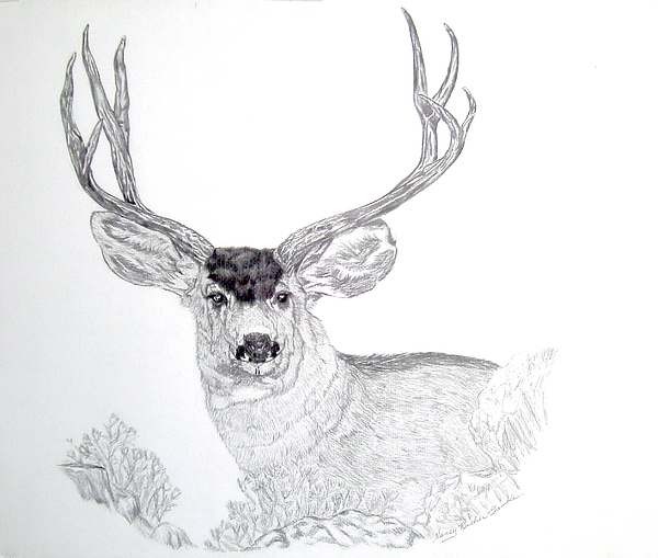 Mule deer buck drawing