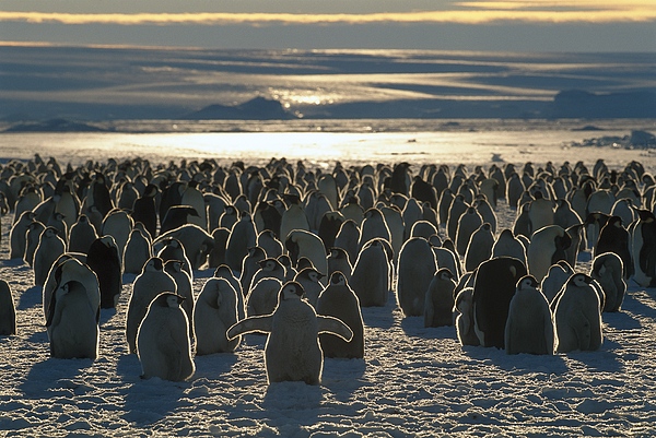 Mp Photograph - Emperor Penguin Aptenodytes Forsteri by Pete Oxford