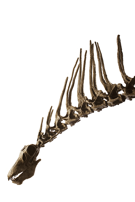Buenos Aires Photograph - A Cast Of An Amargasaurus Showing by Ira Block