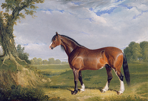 Xyc265055 Photograph - A Clydesdale Stallion by John Frederick Herring Snr