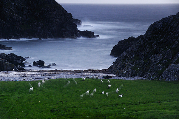 Outdoors Photograph - A Flock Of Sheep Graze On Seaweed by Jim Richardson
