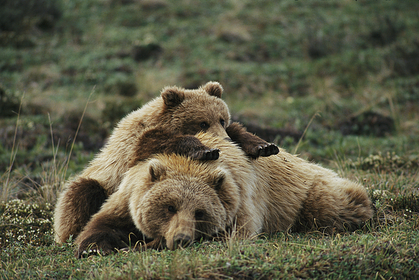 A Grizzly Bear Cub Stretches Photograph