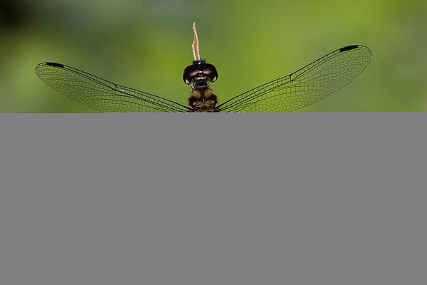 Close Up Photograph - A Male Forest Chaser Dragonfly Rests by Joe Petersburger