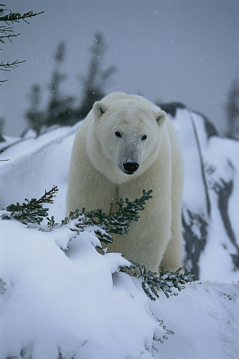 North America Photograph - A Polar Bear In A Snowy, Twilit by Norbert Rosing