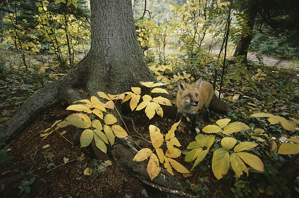 Animals Photograph - A Red Fox On Isle Royale In Lake by Annie Griffiths