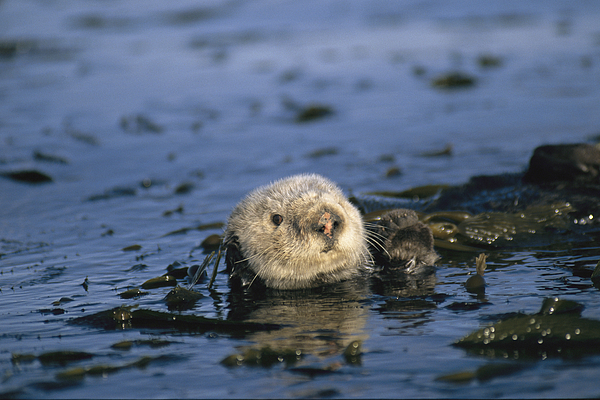 A Sea Otter Floats In A Tangle Of Kelp Photograph