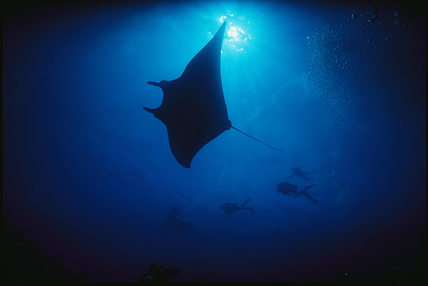 A Silhouetted Manta Ray Swims In Deep Photograph