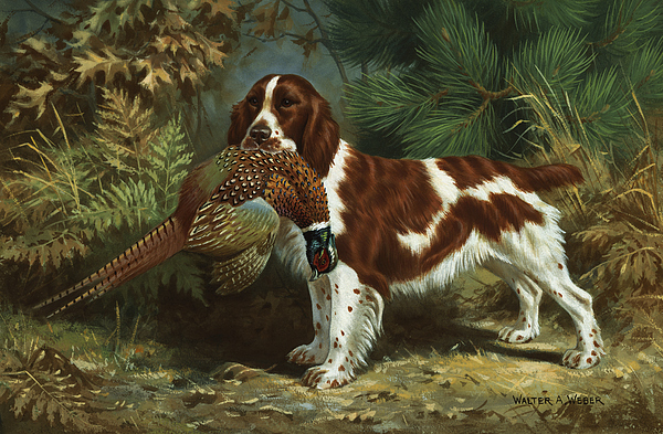 A Welsh Springer Spaniel Holds A Dead Photograph