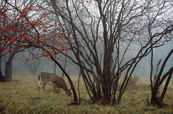 North America Photograph - A White-tailed Deer Forages by Raymond Gehman