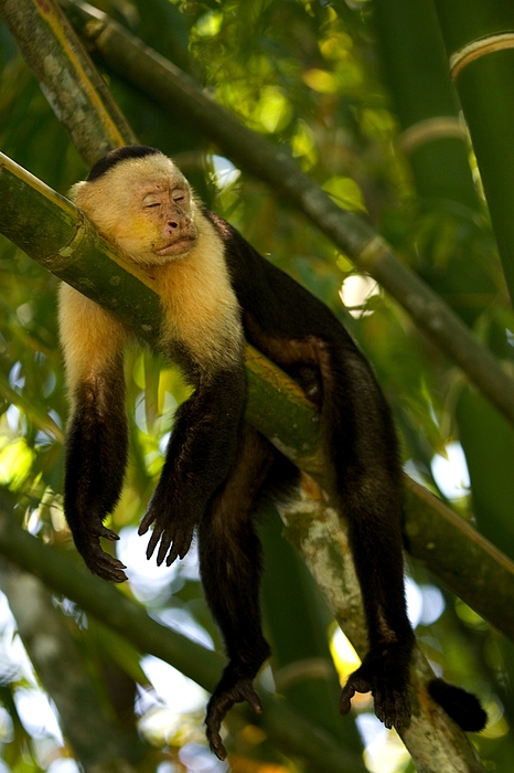 Central America Photograph - A White-throated Capuchin Monkey by Roy Toft