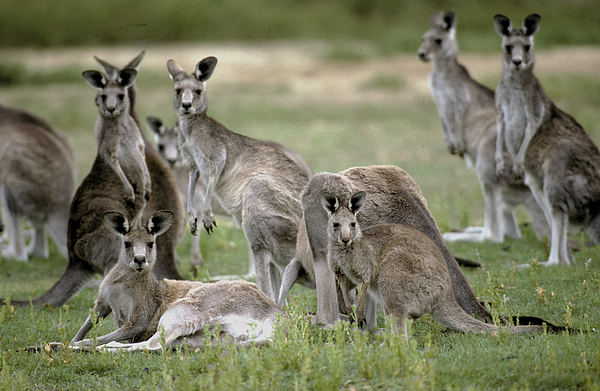 An Alert Mob Of Eastern Grey Kangaroos Print by Jason Edwards