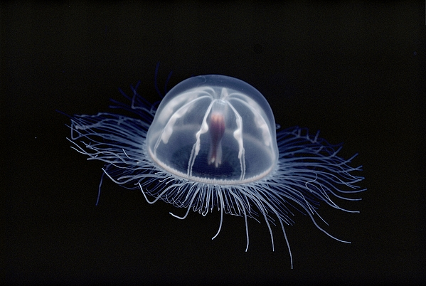 Animals Photograph - An Inch Long Transparent Jellyfish by Bill Curtsinger