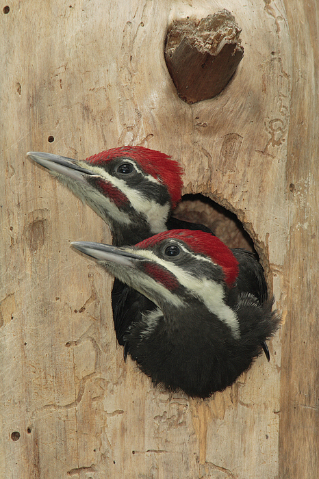 East Lake Photograph - Baby Pileated Woodpeckers Peer by George Grall