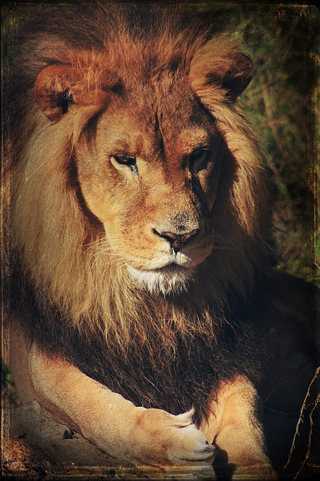 Lion Photograph - Big Boy by Laurie Search