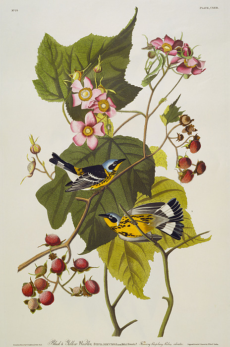 Black And Yellow Warbler Drawing