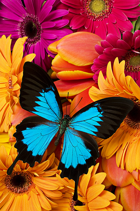 Butterfly Tulips Daisy's Photograph - Blue Butterfly On Brightly Colored Flowers by Garry Gay