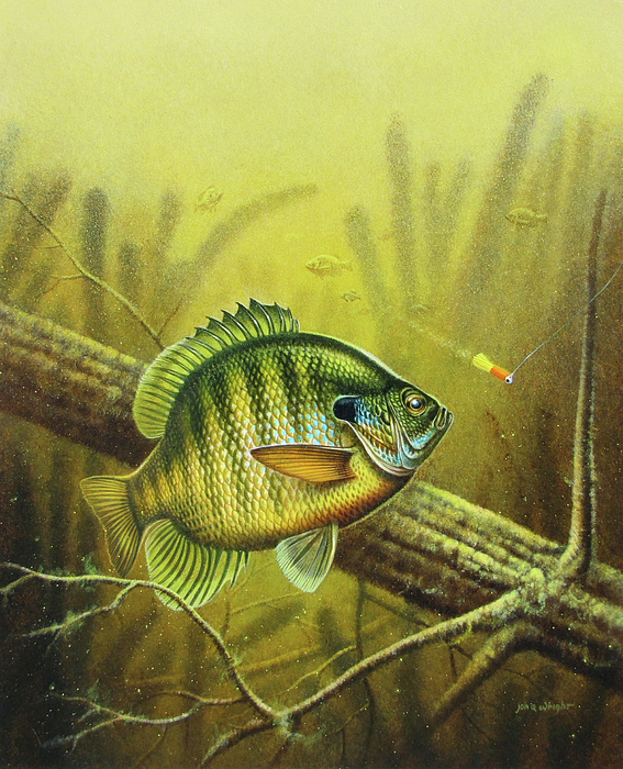 Bluegill And Jig Painting