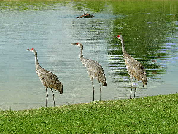 Sandhill Cranes Photograph - Breakfast Lunch And Dinner by Adele Moscaritolo
