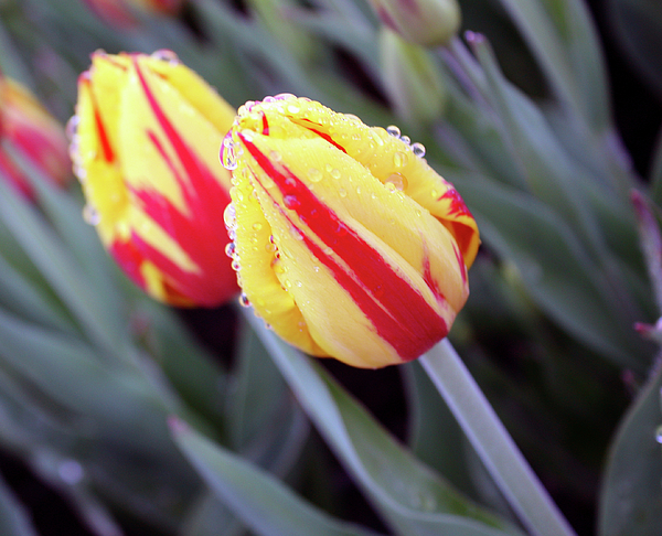Tulips Photograph - Bright Yellow And Red Tulips by Kami McKeon