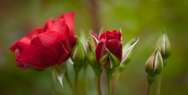 Rose Photograph - Bud Bloom Blossom by Mike Reid