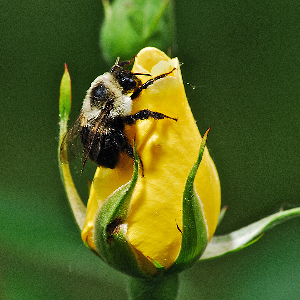 Flowers Photograph - Bumble Bee On Rose  by Michael Peychich